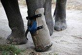 Eléphant d'Asie équipé d'une prothèse Cambodge