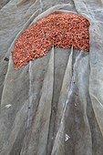 Crevettes séchées Village de Kompong Khleang Lac Tonlé Sap