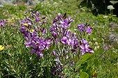 Fleischer's Willowherbs flowering Aosta Valley Italy