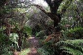 Primary forest Bébour Reunion National Park ; Forest wood colors high Reunion