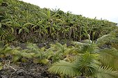 Planting red Palmistes and Banana trees Reunion
