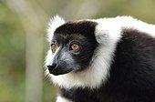 Portrait of black and white ruffed Lemur Andasibe Madagascar
