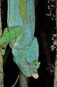 Parson's Chameleon down Andasibe Madagascar