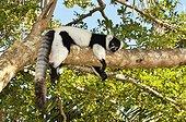 Black and white ruffed Lemur on a branch Andasibe Madagascar