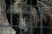 Brown bears in captivity Zoo Barben France