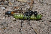 Digger Wasp and paralyzed prey PNR Northern Vosges France