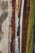 Detail of banana tree stipe in a garden