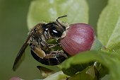 Solitary Bee on Whortleberry flower Northern Vosges France
