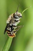 Anthidie sur brin d'herbe PNR Vosges du Nord France