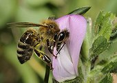Honey Bee on Common Restharrow flower Northern Vosges France