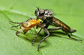 Male Kite-tailed robberfly with a prey Denmark