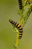 Caterpillar of  Cinnabar moth Denmark