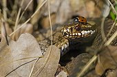 Sevenspotted lady beetle on the head of a Adder