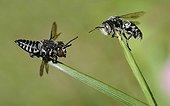 Abeilles coucous sur brins d'herbe PNR Vosges du Nord