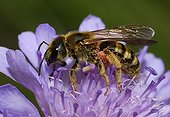 Mining Bee female on Scabieusa flower Northern Vosges France