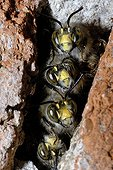 Hairy footed flower bees in cavity Northern Vosges