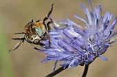 Anthophora Bee on Sheep's-bit flower Northern Vosges France
