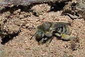 Anthophora Bee female on sand Northern Vosges France