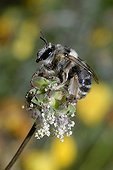 Anthophora Bee female on flower Northern Vosges France