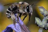 Anthophora Bee female on Sage flower Northern Vosges France