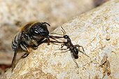 Anthophora Bee dragged by Ant Northern Vosges France