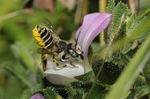 Leaf-cutting bee female on Restharrow flower Northern Vosges