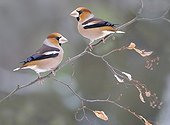 Hawfinches on a branch in winter Northern Vosges France