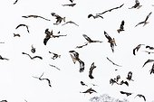 Red kites in flight over a snow bound UK