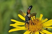 Tachinid Fly on Yellowhead flower Northern Vosges