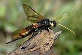 Wood Wasp on wood PNR Northern Vosges France
