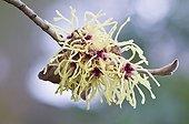 "Flower Hamamelis - Germany ; Witch Hazel (Hamamelis mollis ""Pallida""). Haren, Emsland, Lower Saxony, Germany, Europe"