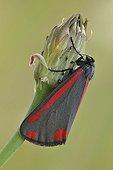 Cinnabar moth ; Cinnabar Moth (Tyria jacobaeae), perched on a flower bud.