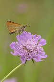 European Skipper ; Essex Skipper or European Skipper (Thymelicus lineola), perched on a Pincushion Flower (Scabiosa columbaria).