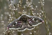 Emperor moth laying eggs PNR Northern Vosges