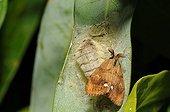 Asian Gypsy Moth mating PNR Northern Vosges France