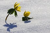 Winter Aconite flowers in the snow PNR Northern Vosges