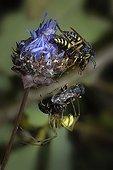Silver Spiny Digger Wasp and Long-legged Cellar Spider