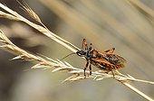 Red Assassin Bug on grass ear PNR Northern Vosges France