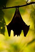 Phyllostome bat suspended near the forest French Guiana