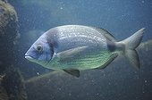 Common two-banded seabream swimming