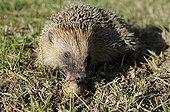 European hedgehog eating a snail France