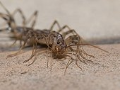 House Centipede on the floor of a kitchen at night France