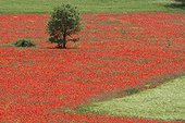 Tree in a Wheat field covered by Red Poppies in spring Spain