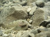 Lez sculpin on the bottom of the river Lez Herault France ; Rare endemic species, bullhead lives only in the first 5 kilometers of Lez from its source