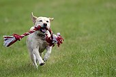 Labrador Retriever playing with a rope France