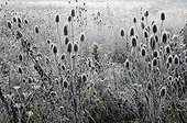Teasels covered with frost in winter France
