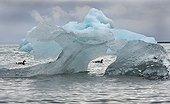 Barnacle Geese on water and iceberg Svalbard