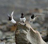 Little Auks flying a rock Spitsbergen