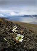 Poppy flowers (Papaver dahlianum) in a scree, Spitsbergen