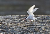 Arctic Tern feeding its young on the ground Spitsbergen